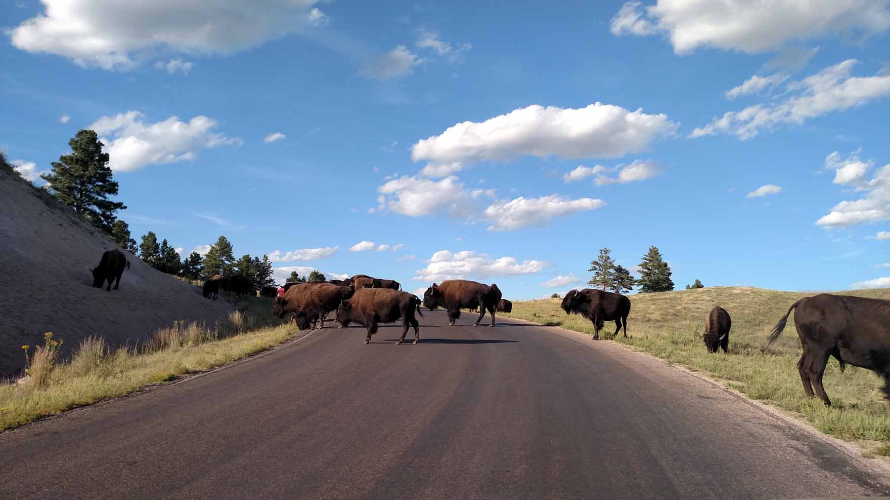 Buffalo on road