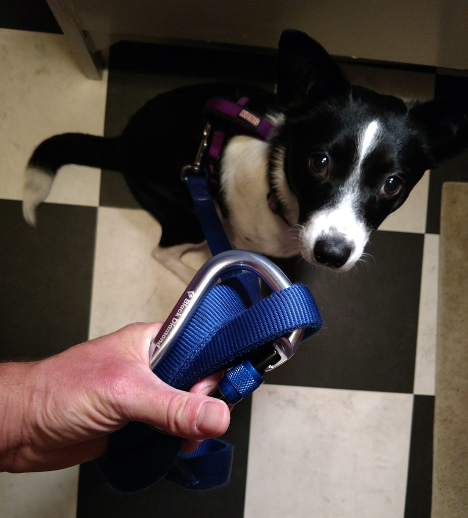 Trail puppy on harness with carabiner