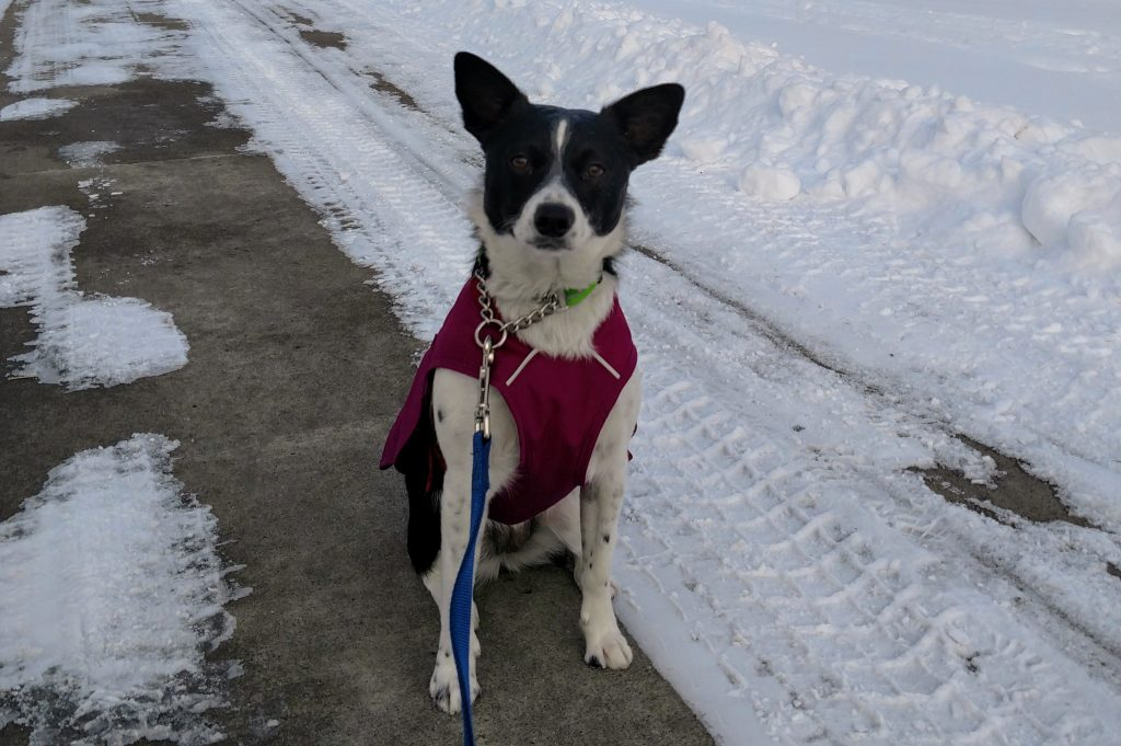 Winter dog in her Stumptown Jacket