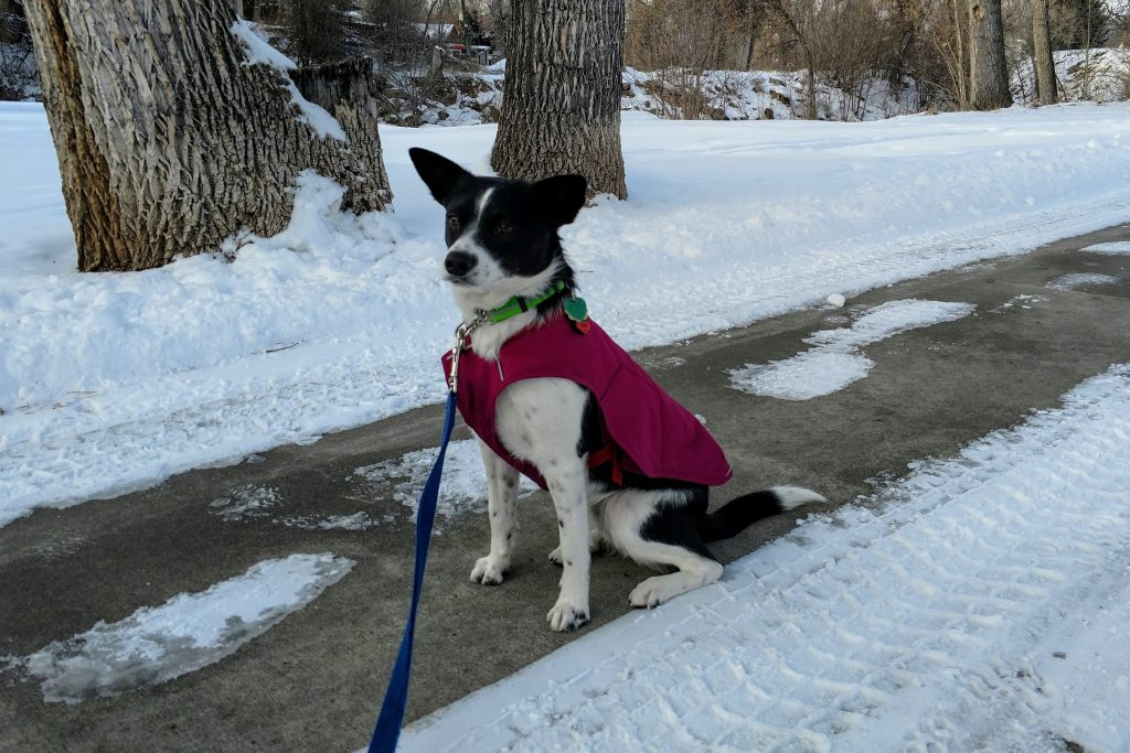 In this coat from Ruffwear, Inkling is a good winter dog
