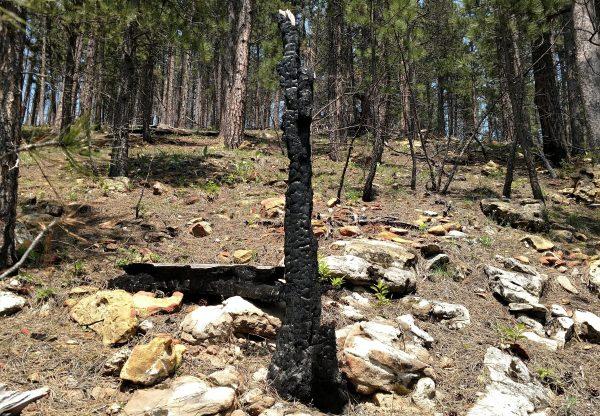 Burnt tree on Crow peak trail
