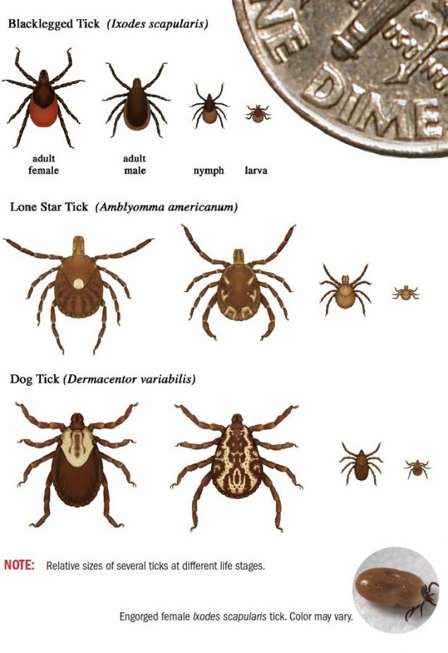To help you deal with ticks, here's an identification guide to the ticks most likely to bite humans