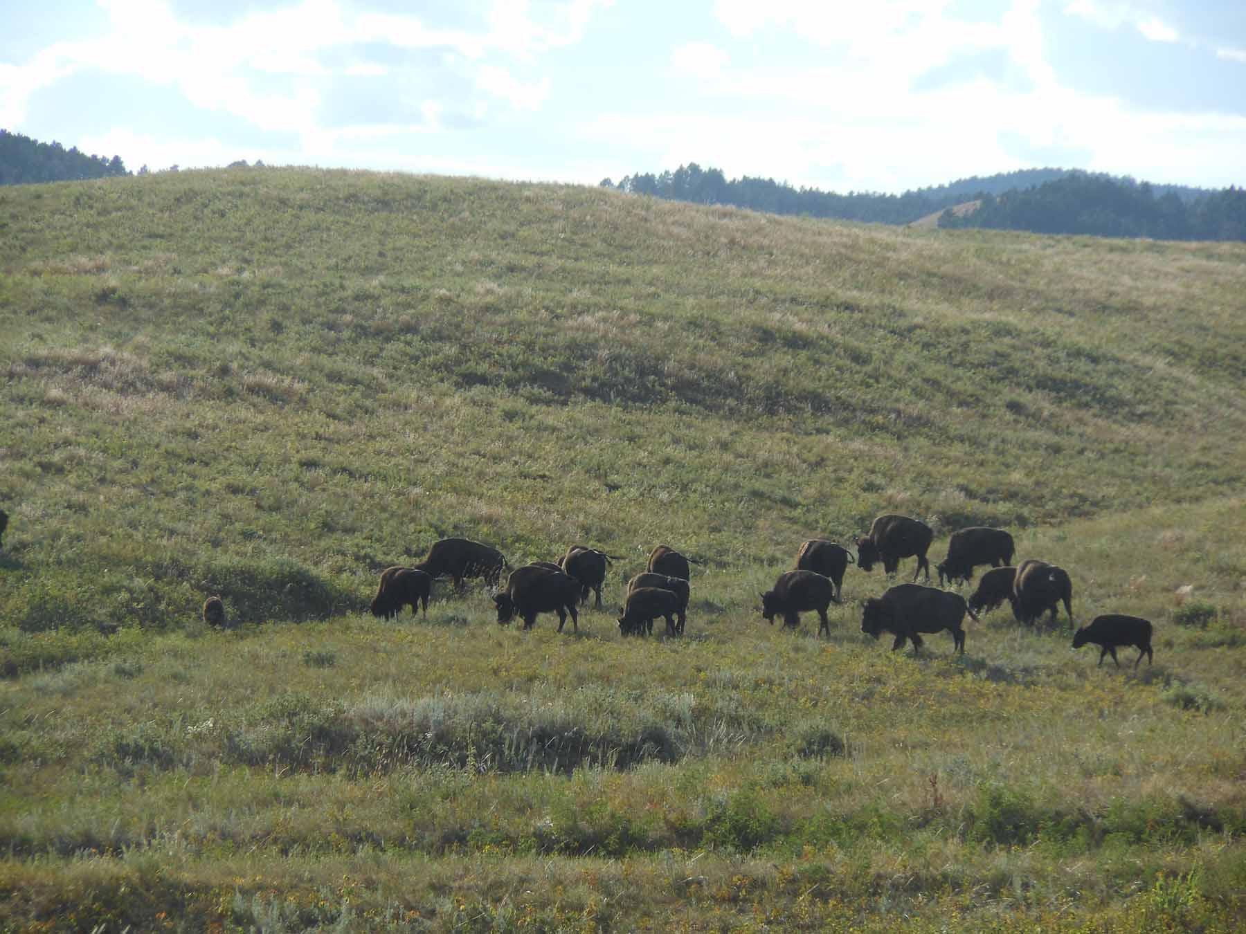 Buffalo at a distance.