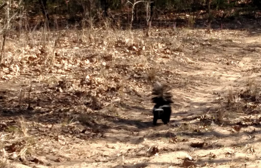 Skunk crossing the trail