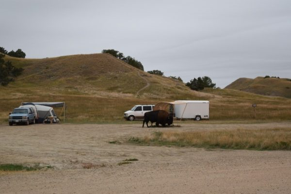 Bison roam freely in Sage Creek campground.