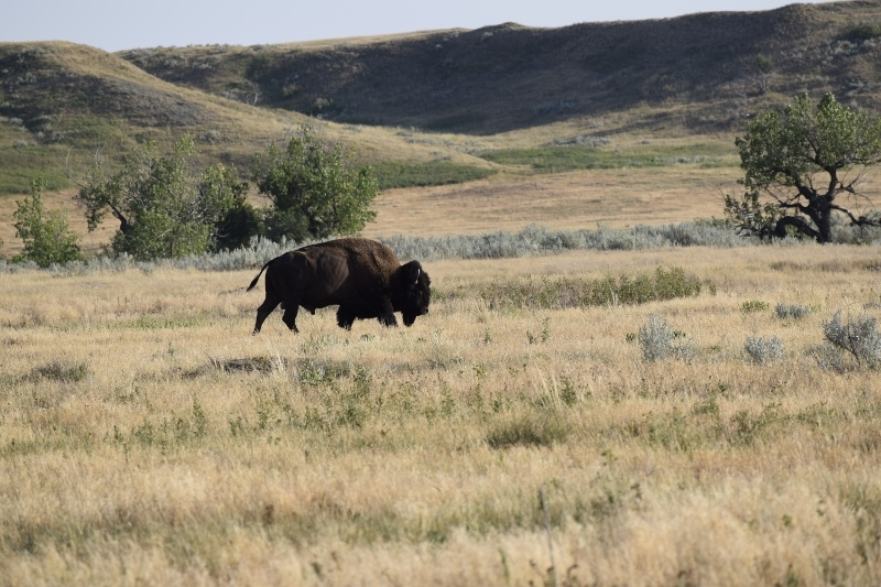 Bison in Badlands National Park backcountry
