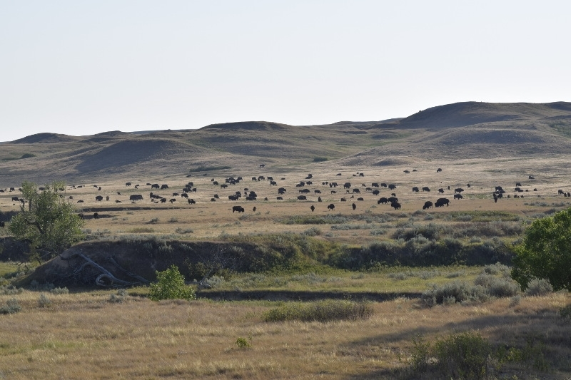 Herd of bison in the badlands backcountry