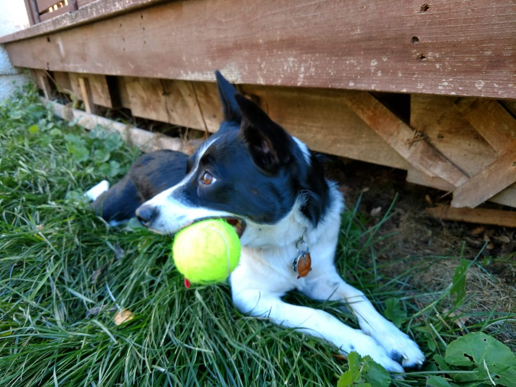 Inkling the dog with tennis ball